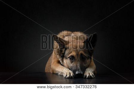 Mongrel Dog On A Dark Background In The Studio. Beautiful Half-breed On Black.