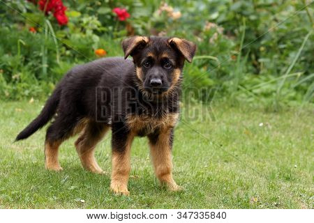 Little Puppy Of German Shepherd Dog (canis Lupus Familiaris) Standing With Lifted Head In The Green