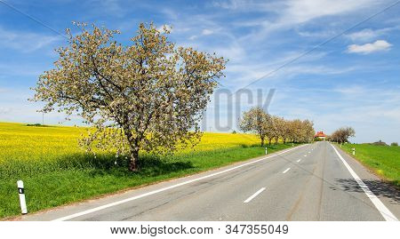 Alley Of Flowering Cherry Trees White Colored In Latin Prunus Cerasus Cherry-trees With Road And Rap