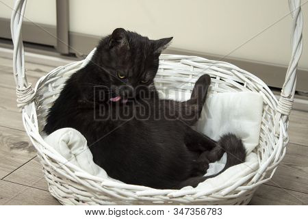 The Black Cat Lies In A White Wicker Basket And Washes Its Fur With The Tongue.