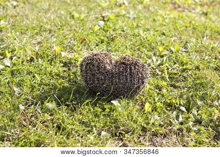 The Hedgehog Curled Up Lies On A Green Lawn.