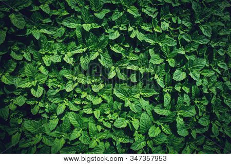 Green Peppermint Leaves Background. Mentha Piperita Lamiaceae. Floral Spring And Summer Botany Garde