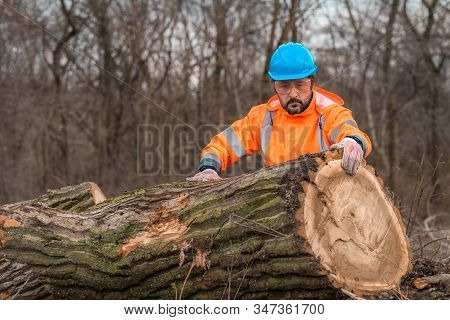 Forestry Technician Analyzing Tree Trunk After Cutting In Forest During The Logging Process