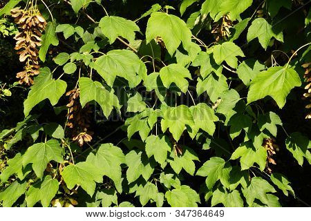 Many Leaves Of A Large Maple Tree