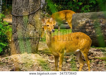 Female Eld's Deer In Closeup, Endangered Animal Specie From South Asia