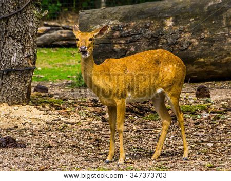 Female Eld's Deer Looking In The Camera In Closeup, Endangered Animal Specie From Asia