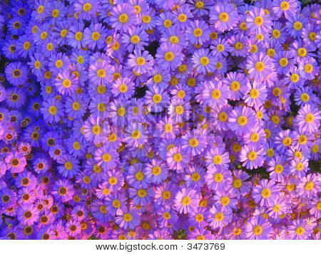 Bed Of Purple Daisies