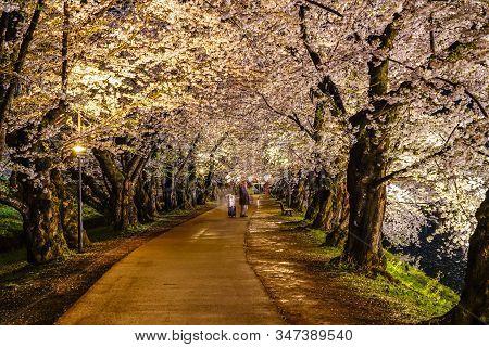 Hirosaki Park Cherry Blossom Trees Festival Light Up At Night. Beauty Full Bloom Pink Flowers Tunnel