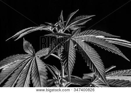 Black And White Closeup Shot Of Cannabis Plant On Black Background. Healthy Marijuana Leaves Starkly
