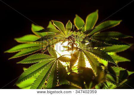 Selective Focus Closeup Of Backlit Marijuana Plant Leaves. Cannabis Plant On A Black Background Lit