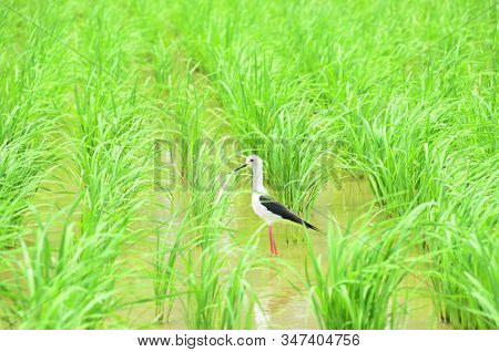 Black-winged Stilt, Himanthopus Himantophus, Black And White Bird With Long Red Legs, In Rice Paddy