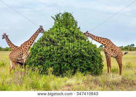 Small herd of giraffes grazes near a green bush in the african savannah. Funny scene. Jeep Safari Masai Mara, Kenya. The concept of active, environmental and photo tourism
