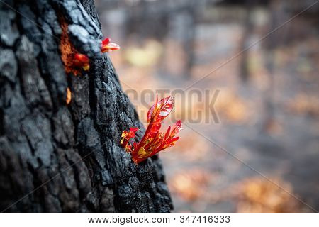 Small Leaves Burst Forth From A Burnt Tree After A Bush Fire.  Very Shallow Dof.