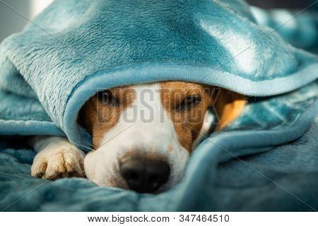 A Pet Beagle Dog Sleeps On A Bed Under Blanket. Dog Background. Canine Concept.