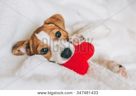 Adorable Puppy Jack Russell Terrier With Red Heart On White Blanket.