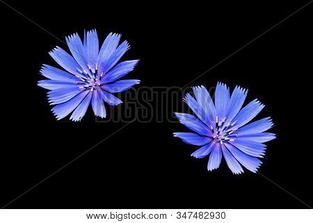 Chicory Flower With Leaf Isolated On Black Background. Nature
