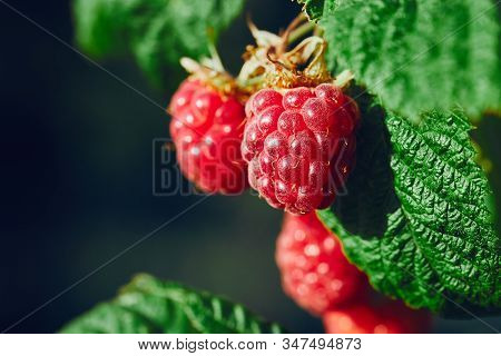 Close Up Of Raspberries Hanging On A Branch In Sunny Day