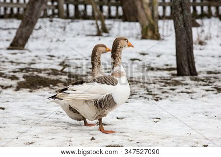 Funny geese walk on a rural farm in winter