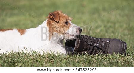 Naughty Funny Pet Dog Puppy Chewing A Shoe In The Grass. Pet Training Concept.