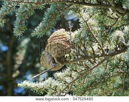 Atlas Cedar (cedrus Atlantica). It Grows On The Slopes Of The Atlas In Morocco And Algeria, Includin