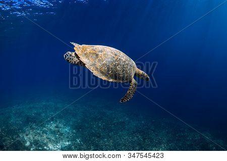 Green Sea Turtle Swimming In Deep Sea, Closeup