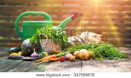Gardening farming fresh organic vegetables and spicy herb with bed. Still life with wicker basket basil and parsley on old wooden board in rustic style side view.