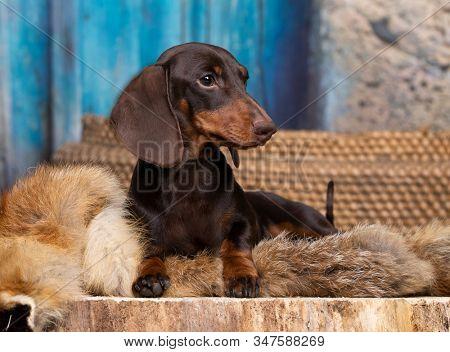 dachshunds dog portrait brown tan colors