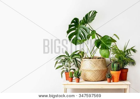 Potted Home Plants Front View, Home Gardening Concept, Image With Blank Space For A Text