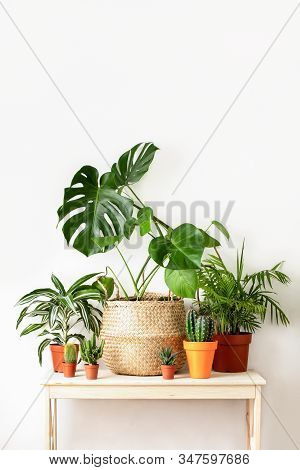 Home Potted Plants Front View, Home Gardening Concept Or Interior Foliage Decoration Concept, Minima