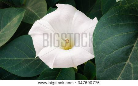 White Delicate Blooming Flower And Green Leaves Closeup Garden Flora Background