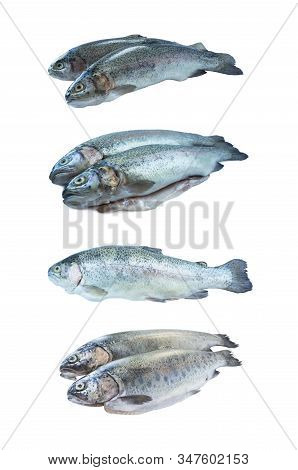 Fish Rainbow Trout, Isolated On A White Background. Rainbow Trout Over White Background. Fish With C