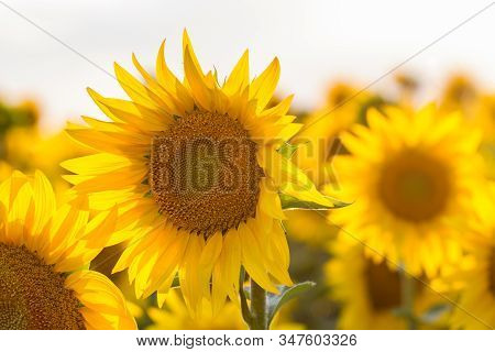 Beautiful Sunflowers Field At Summer Time As Background