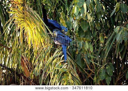 Hyacinth Macaw On A Palm Tree, Rio Cuiaba, Pantanal