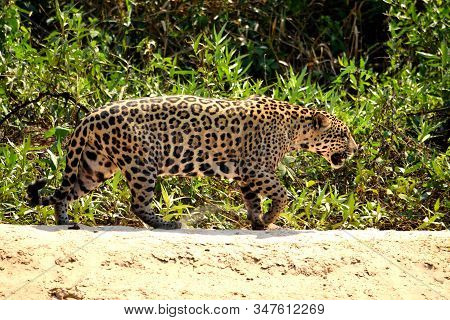 Jaguar Female On Rio Cuiaba Riverbank, Porto Jofre, Brazil.