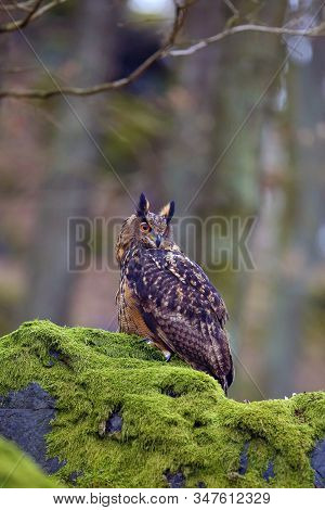 Eurasian Eagle-owl (bubo Bubo), Portrait In The Forest. Eagle-owl Sitting In A Forest On A Rock. Big