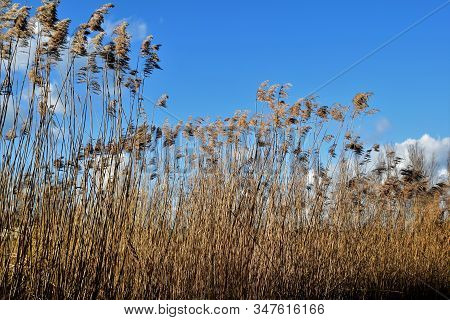 High Reed Plumes Waving In The Strong Wind. Blue Sky With Some Clouds In The Background