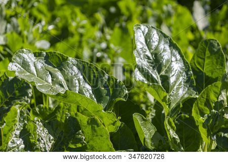 Organic Chard Leaves In Agriculture Field Organic Chard Leaves In Agricultural Field On A Sunny Day