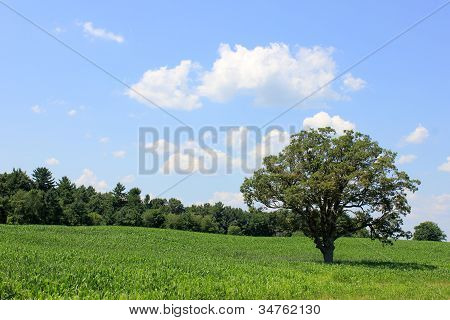 Solitary tree in a cornfield