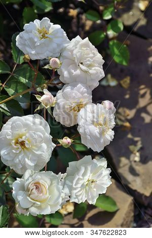 Blossoming Bush Of White English Roses In The Rose Garden With Gentle Terry Fragrant Flowers In Full