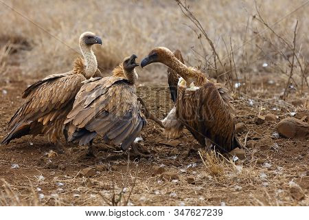 The White-backed Vulture (gyps Africanus) Fighting For The Carcasses.typical Behavior Of Bird Scaven