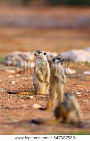The Meerkat Or Suricate (suricata Suricatta) Patrolling Near The Hole. Three Meercats Standing In A