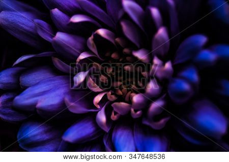 Purple Daisy Flower Petals In Bloom, Abstract Floral Blossom Art Background, Flowers In Spring Natur