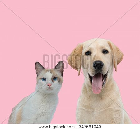 team of two animals, metis cat and labrador retriever panting and sticking out tongue on pink background