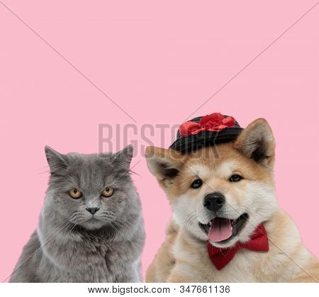 team of two animals, british long hair cat and akita inu wearing bowtie and hat, panting and sticking out tongue on pink background