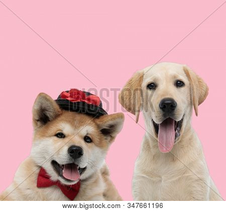 team of two dogs, akita inu and labrador retriever, wearing hat and bowtie, panting and sticking out tongue on pink background