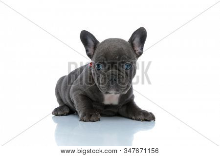 Calm French bulldog cub looking forward and resting while wearing a red collar and laying down on white studio background