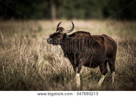 Gaur Or Indian Bison Or Bos Gaurus Fine Art Image At Bandhavgarh National Park Or Tiger Reserve, Mad