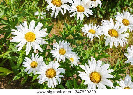 Macro Of Beautiful White Daisies Flowers In The Garden
