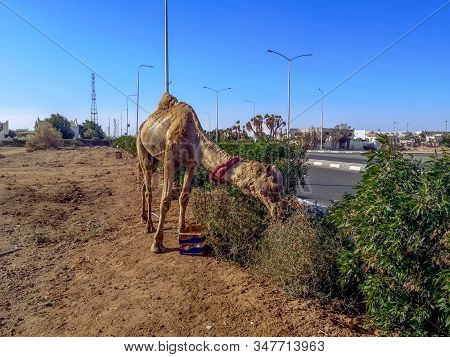 Camel Eating Grass In The Wasteland. Alone Dromedary Eats On The Side Of The Road In Sharm El Sheikh