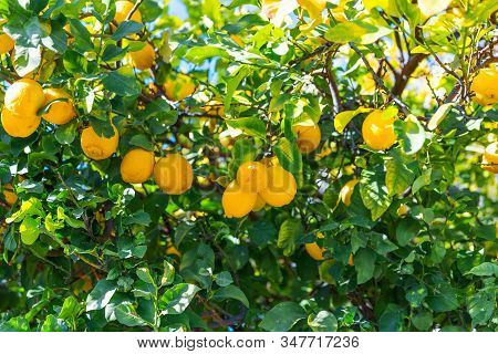 Closeup Yellow Lemons Fruits Hanging On The Branches. Lemon Tree Growing In The Garden. Bright Summe